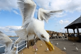 Seagull Swoop